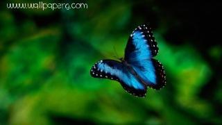 Bluish butterfly