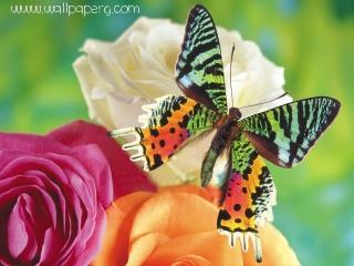 Butterfly in lovely petals