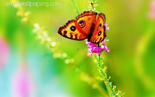 Butterfly on the flowers ,wide,wallpapers,images,pictute,photos