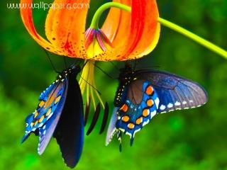 Butterfly(1) ,wide,wallpapers,images,pictute,photos