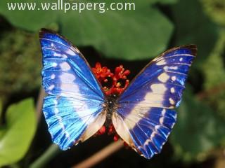 Butterfly(3) ,wide,wallpapers,images,pictute,photos