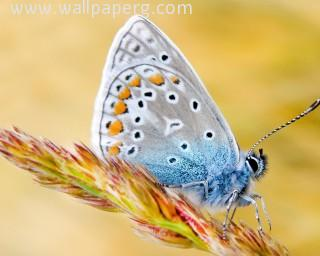 Butterfly(4) ,wide,wallpapers,images,pictute,photos