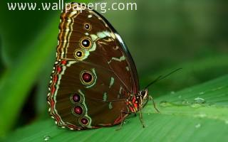 Butterfly(5) ,wide,wallpapers,images,pictute,photos