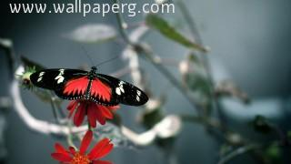 Butterfly(6) ,wide,wallpapers,images,pictute,photos