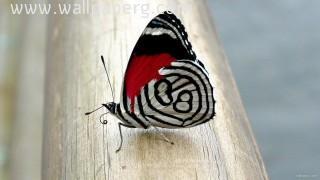 Butterfly(7)