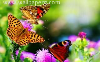 Fantastic butterfly ,wallpapers,images,