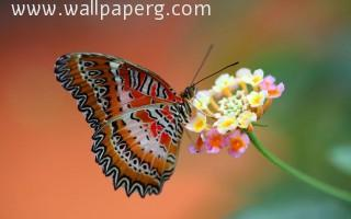Macro butterfly(2) ,wallpapers,images,