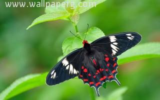 Macro butterfly(3) ,wallpapers,images,