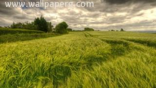 Tracks through wheat field wallpapers