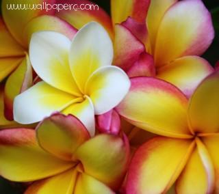 Frangipani flowers ,wide,wallpapers,images,pictute,photos