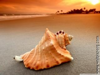 Whelk shell wallpaper