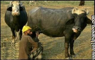 Milkman and buffalo funny