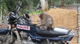 Monkey on indian police bike ,wide,wallpapers,images,pictute,photos