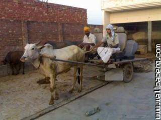 Punjabi culture funny car