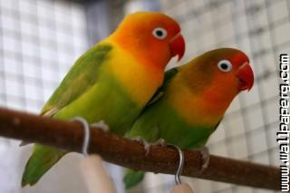 Agapornis fischeri couple ,wide,wallpapers,images,pictute,photos