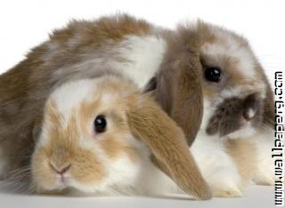Bunny bunny ,wide,wallpapers,images,pictute,photos