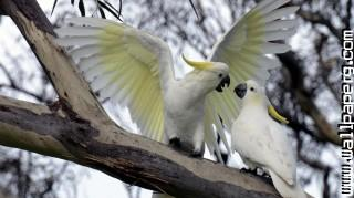 Cuckatoos ,wide,wallpapers,images,pictute,photos