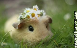 Cute animal  cavy