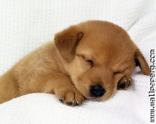 Cute brown puppy