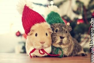 Cute guinea pigs ,wide,wallpapers,images,pictute,photos
