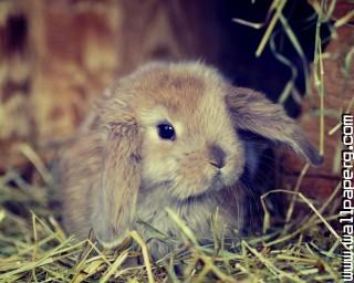 Fluffy bunny ,wide,wallpapers,images,pictute,photos