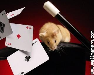 Hamster poker ,wide,wallpapers,images,pictute,photos