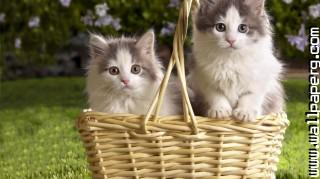 Kittens in basket ,wide,wallpapers,images,pictute,photos