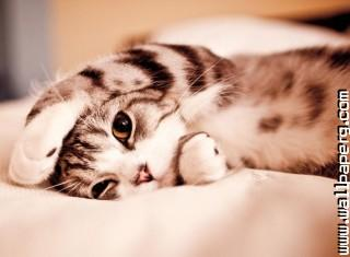 Lazy kitty ,wide,wallpapers,images,pictute,photos