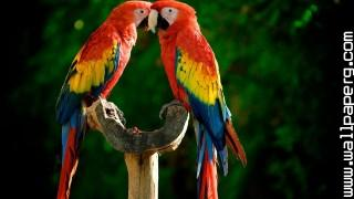 Parrot couple ,wide,wallpapers,images,pictute,photos