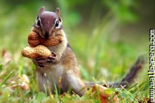 Squirrel peanut ,wide,wallpapers,images,pictute,photos