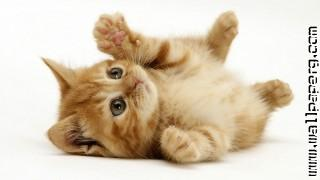 Cat animal ,wide,wallpapers,images,pictute,photos