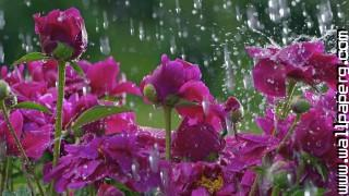 Beautiful blossoms in rain ,wide,wallpapers,images,pictute,photos