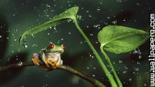 Hd frog in rain ,wide,wallpapers,images,pictute,photos