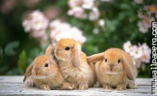 Bunnies ,wide,wallpapers,images,pictute,photos