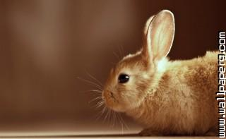 Bunny ,wide,wallpapers,images,pictute,photos
