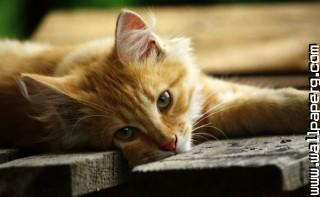 Cat3 ,wide,wallpapers,images,pictute,photos