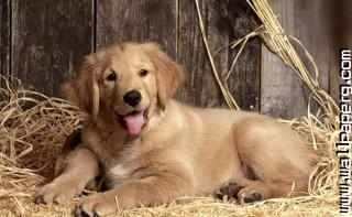 Dog ,wide,wallpapers,images,pictute,photos
