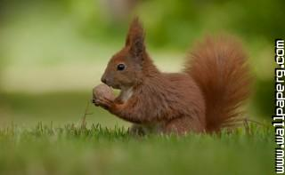 Green squirrel ,wide,wallpapers,images,pictute,photos