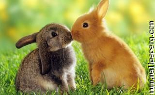 Kissing bunnies ,wide,wallpapers,images,pictute,photos