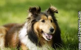 Lassie ,wide,wallpapers,images,pictute,photos