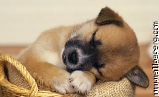 Sleeping little doggy ,wide,wallpapers,images,pictute,photos
