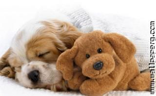 Sleeping little doggy1 ,wide,wallpapers,images,pictute,photos