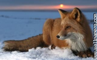 Snow fox ,wide,wallpapers,images,pictute,photos