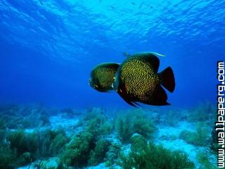 Angelfish ,wide,wallpapers,images,pictute,photos
