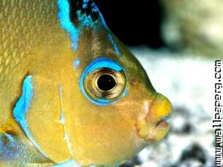 Atlantic blue angelfish