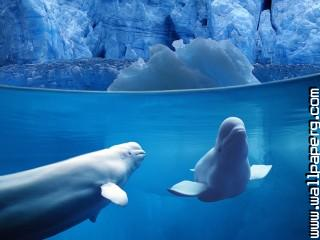 Belugas underwater ,wide,wallpapers,images,pictute,photos