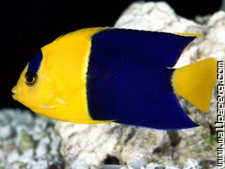 Bicolor angelfish ,wide,wallpapers,images,pictute,photos