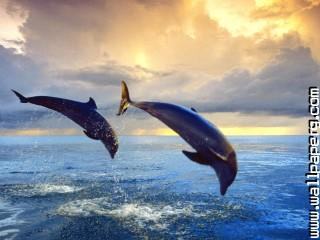 Bottlenose dolphins ,wide,wallpapers,images,pictute,photos