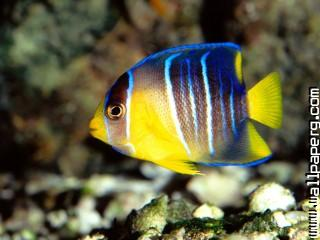 Caribbean blue angelfish,