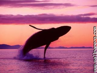 Crimson flight, humpback whale, alaska